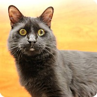 Domestic Mediumhair Cat for adoption in Greensboro, Georgia - Comstock