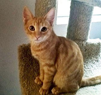 Domestic Shorthair Kitten for adoption in Rancho Cucamonga, California - Scanlin
