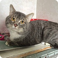 Domestic Shorthair Cat for adoption in THORNHILL, Ontario - Puffy