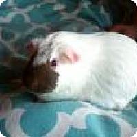 Guinea Pig for adoption in Edmonton, Alberta - Jane
