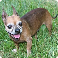 Chihuahua Dog for adoption in Hagerstown, Maryland - RUDY