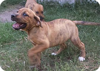 Adopt A Pet :: Darla-IN TRAINING  - Snow Hill, NC