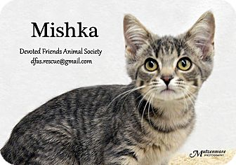 Domestic Shorthair Kitten for adoption in Ortonville, Michigan - Mishka