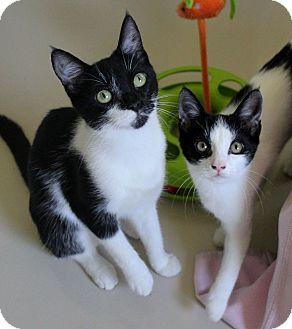 Domestic Shorthair Kitten for adoption in Studio City, California - Mabel & Felicia love kids!