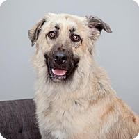 Adopt A Pet :: Smokey Robinson - Mission Hills, CA
