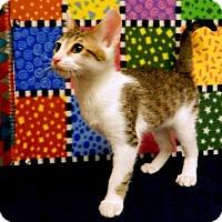 Domestic Mediumhair Kitten for adoption in Tyler, Texas - Bobby