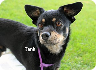 Terrier (Unknown Type, Medium)/Chihuahua Mix Dog for adoption in Idaho Falls, Idaho - Tank