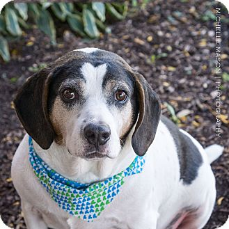 Beagle Mix Dog for adoption in Naperville, Illinois - Luke