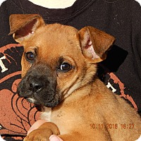 German Shepherd Dog/English Bulldog Mix Puppy for adoption in Burlington, Vermont - Whirlwind (6 lb) Video!