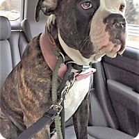 American Bulldog Dog for adoption in Boston, Massachusetts - Rhea
