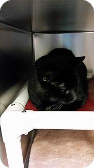 Domestic Shorthair Cat for adoption in Chippewa Falls, Wisconsin - Maci