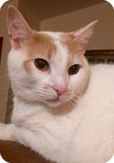 Domestic Shorthair Cat for adoption in Breese, Illinois - Skittles