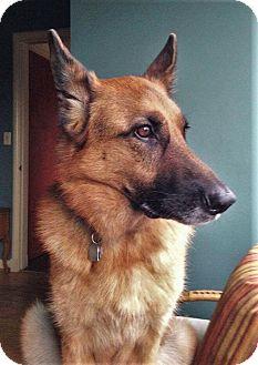 German Shepherd Dog Dog for adoption in Woodinville, Washington - Daisy