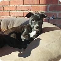 Adopt A Pet :: Noel - Eastpointe, MI