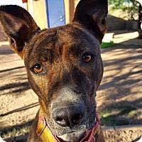 Adopt A Pet :: KangaRoo - Phoenix, AZ