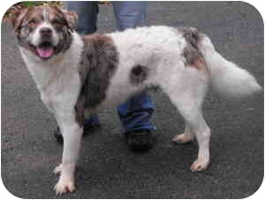 Australian Shepherd Mix Dog for adoption in Raymond, New Hampshire - Bailey