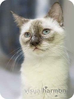 Tonkinese Cat for adoption in Phoenix, Arizona - Luna