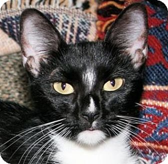 Domestic Shorthair Cat for adoption in St. James City, Florida - Sassy