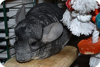 Chinchilla for adoption in Patchogue, New York - Siggy