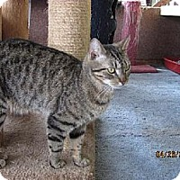 Domestic Shorthair Cat for adoption in Conway, South Carolina - Zephyr