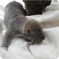 Adopt A Pet :: Lombardi - Antioch, IL