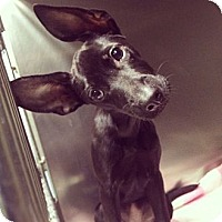 Adopt A Pet :: Isadora - New York, NY