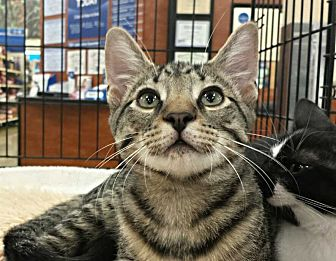 Domestic Shorthair Cat for adoption in Greensboro, North Carolina - James