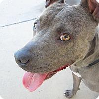 Adopt A Pet :: Chanel - Chula Vista, CA