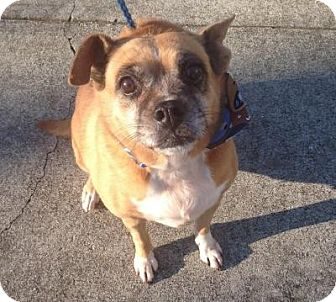 Boxer/Pug Mix Dog for adoption in Bluemont, Virginia - LILY