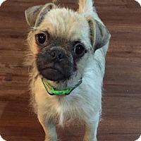 Adopt A Pet :: Arthur - Troy, MI
