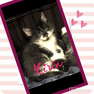 "Domestic Shorthair Kitten for adoption in Mount Laurel, New Jersey - Kirin ""6 pack litter"""