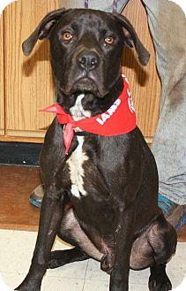 Boxer/Labrador Retriever Mix Dog for adoption in Cottageville, West Virginia - Pooch