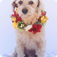 Adopt A Pet :: Boomer - Loomis, CA