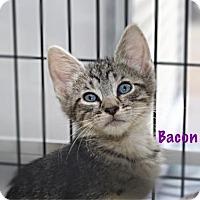 Adopt A Pet :: Bacon - Baton Rouge, LA