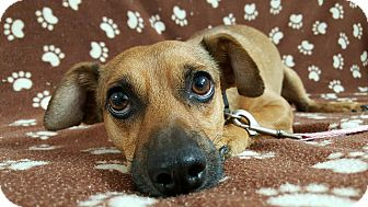 Chihuahua Mix Dog for adoption in Yucaipa, California - Max