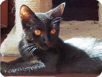 Domestic Shorthair Kitten for adoption in Orange, California - Bennington