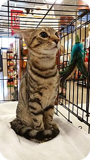Domestic Shorthair Kitten for adoption in Burlington, North Carolina - Dragonfruit