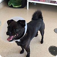 Adopt A Pet :: Shrek - Sudbury, MA
