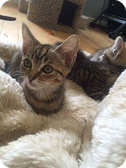 Domestic Shorthair Kitten for adoption in Glendale, Arizona - Tinker