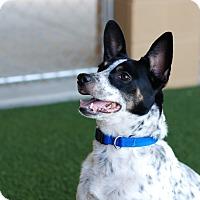 Adopt A Pet :: Speckles - Nashville, TN