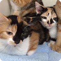 Calico Kitten for adoption in Burbank, California - Gypsy