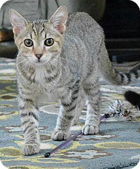 Domestic Shorthair Kitten for adoption in Reston, Virginia - Peter