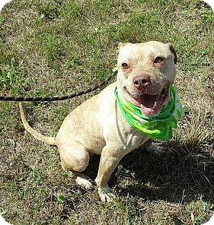 American Staffordshire Terrier/Pit Bull Terrier Mix Dog for adoption in Staunton, Virginia - Jagger