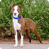 Adopt A Pet :: SASHA - Fountain Hills, AZ