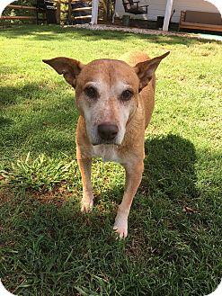 Labrador Retriever/Cattle Dog Mix Dog for adoption in Charlotte, North Carolina - Maisy