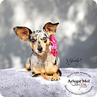 Dachshund Mix Dog for adoption in Lubbock, Texas - SHIRLEY