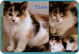 Domestic Longhair Cat for adoption in Berkeley Springs, West Virginia - Alley