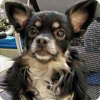 Adopt A Pet :: Brady - San Diego, CA