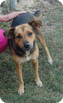 Australian Shepherd/Beagle Mix Dog for adoption in Manning, South Carolina - Sandi