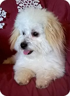 Maltese/Poodle (Miniature) Mix Dog for adoption in Campbell, California - Roman